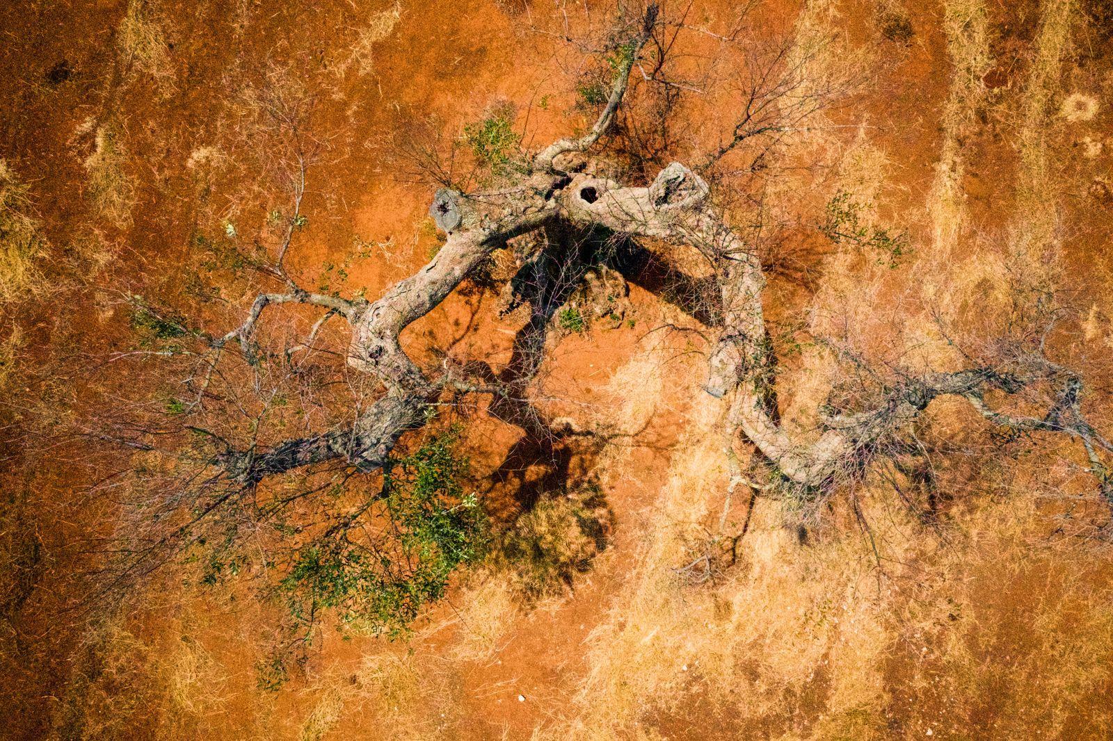 Olivenbaum / Bakterium