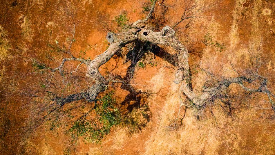 """Befallener Olivenbaum in Apulien: """"Eine infizierte Pflanze kann man nicht kurieren"""""""