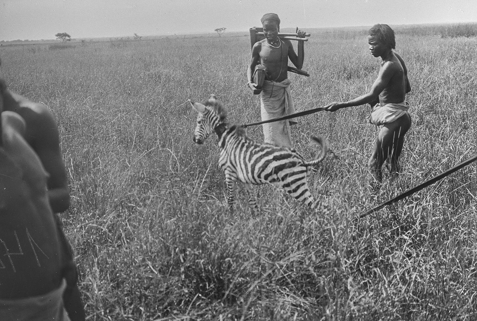 Gefangenes Zebra