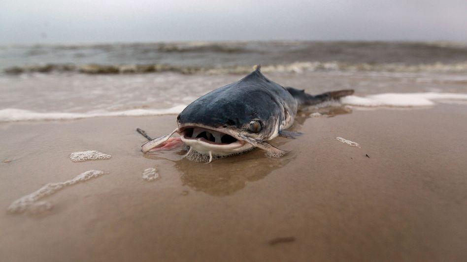 Toter Fisch: Der Zustand der Meere ist alarmierend