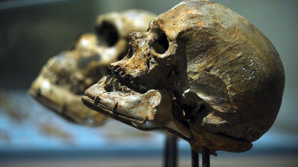 Schädel von Homo sapiens (r.) und Neandertaler (l.): Warum starb der Frühmensch aus?