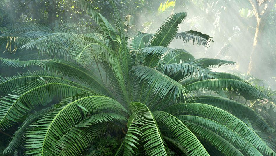 """Palmfarn: Wieso ist er noch da, wenn sein """"Samenverbreiter"""" ausgestorben ist?"""