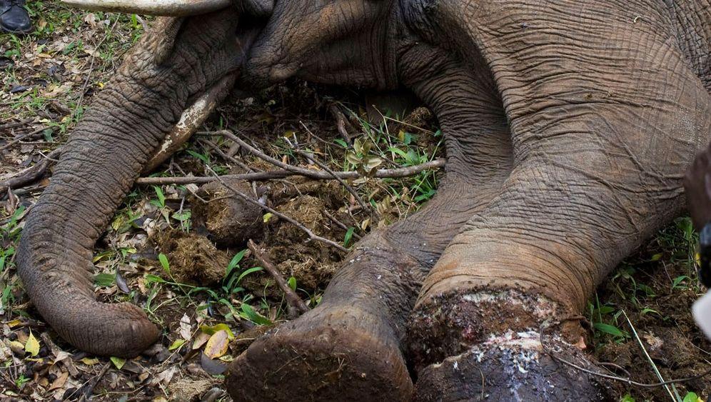 Kampf gegen Wilderei: 11.000 Waldelefanten in Gabun getötet