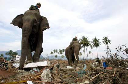 Zwei Elefanten bei Aufräumarbeiten in Banda Aceh: Auch behäbige Dickhäuter konnten sich rechtzeitig vor dem Tsunami in Sicherheit bringen