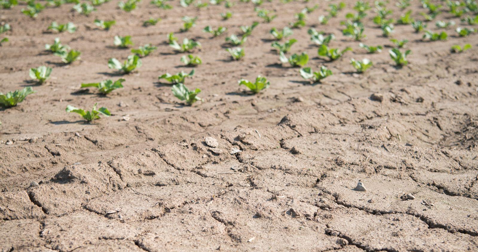 Salat - Risse im Boden durch Dürre
