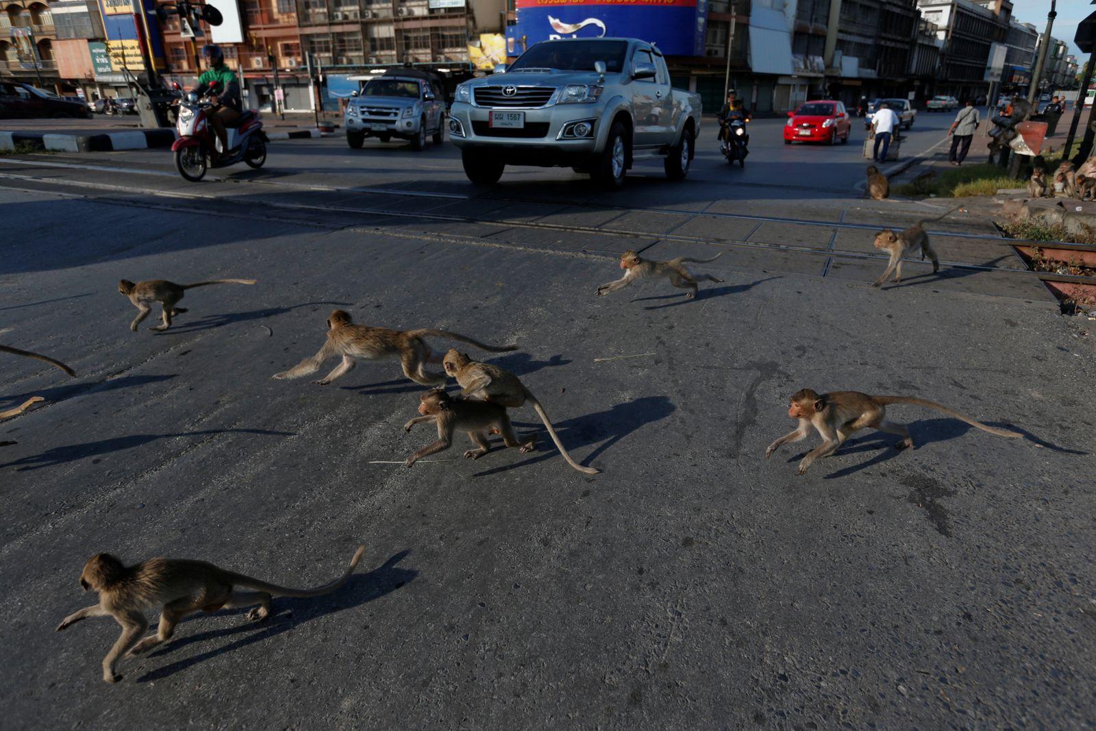 Monkeys run across a street before the Monkey Buffet Festival, in Lopburi province