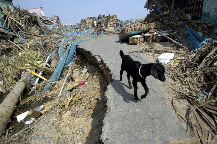 Ziege nach Tsunami im Dezember 2004 bei Madras (Indien)