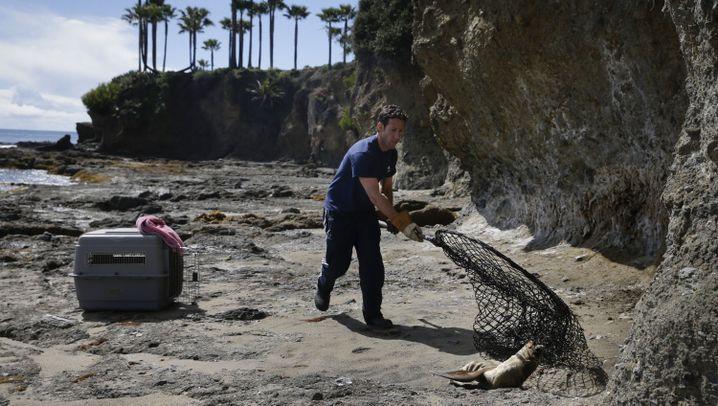 Seelöwen vor Kalifornien: Ausgehungert und geschwächt