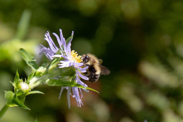 """""""Unter den Wildbienen sind Hummeln die Artengruppe mit der höchsten Bestäubungs-Effizienz"""""""