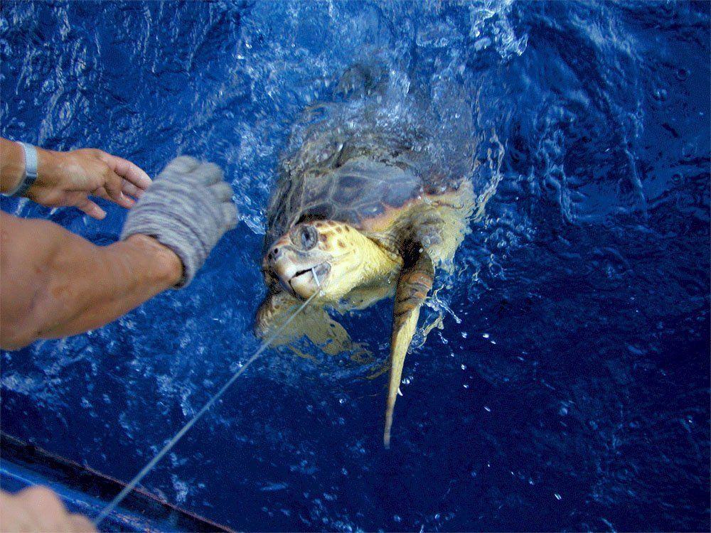 Meeresschildkröten / Beifang