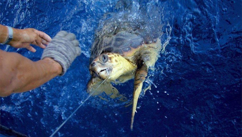 Meeresschildkröte als Beifang: Häufiges Opfer der Fischerei