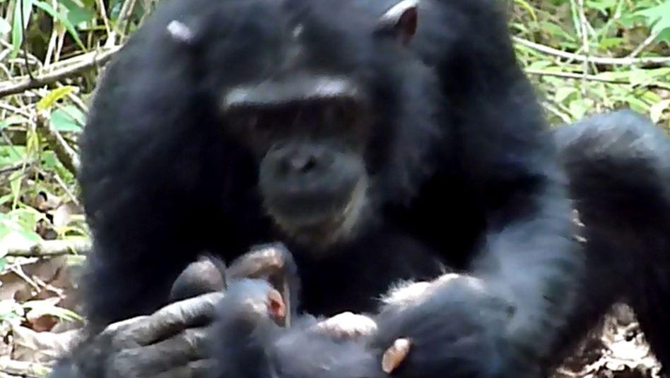 Geschwisterliebe: Dieses Schimpansenweibchen hält ihre behinderte kleine Schwester im Arm