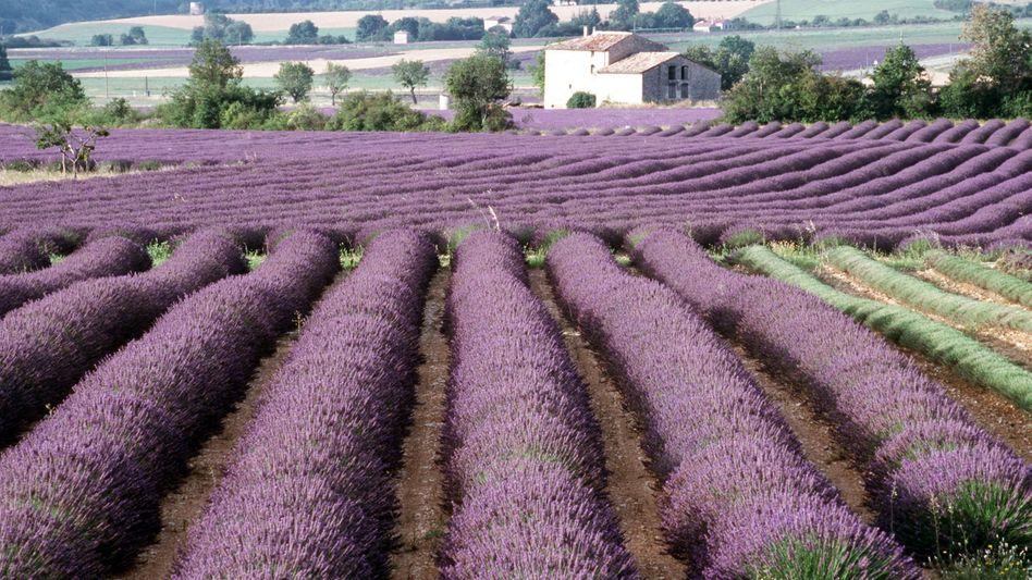 Lavendelfeld in der Provence: Ätherische Öle haben ein großes Heilungspotenzial