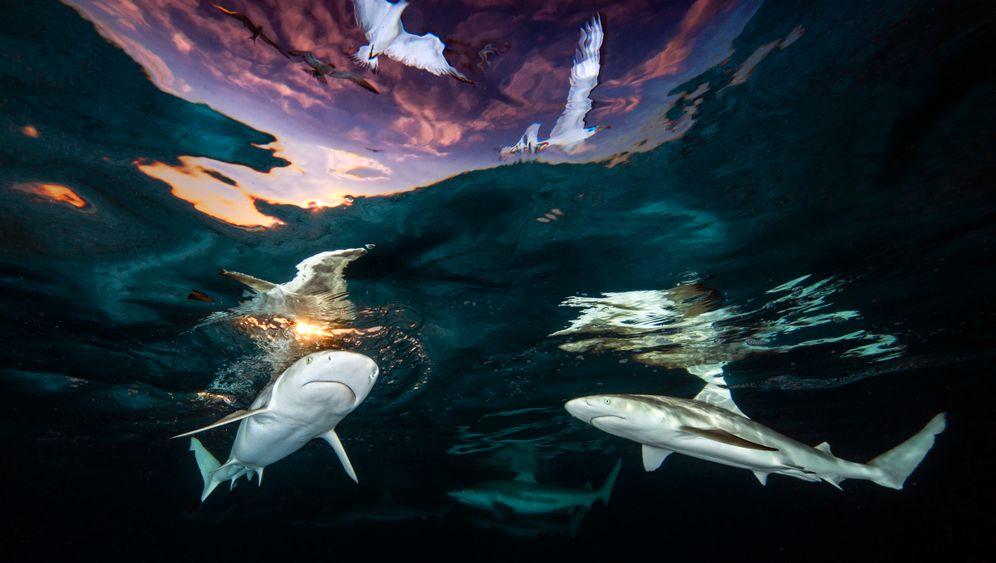 Riffhaie und Seevögel vor Moorea: Die US-Amerikanerin Renee Capozzola wurde als Gesamtsiegerin »Underwater Photographer of the Year«.