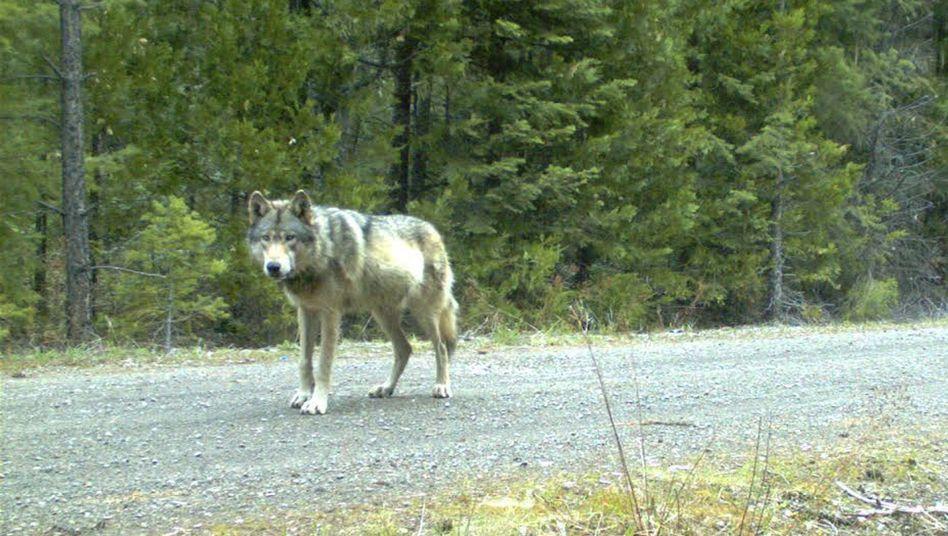 Wolf in Oregon: Seine Anwesenheit hat großen Einfluss auf das Ökosystem