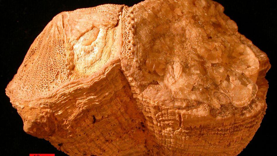Fossile Muschel: Die sogenannten Rudisten sind vor etwa 65 Millionen zusammen mit den meisten Dinosauriern ausgestorben