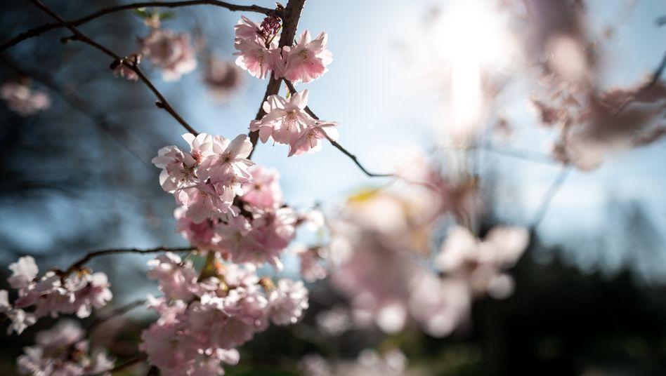 Kirschblüte im Essener Stadtgarten: Hier könnte es auch an Ostern noch sonnig bleiben