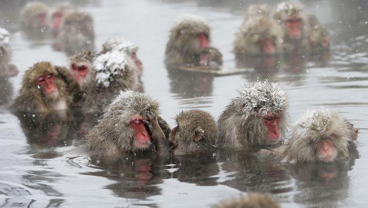 Japanische Schneeaffen: Splish Splash, they are taking a bath