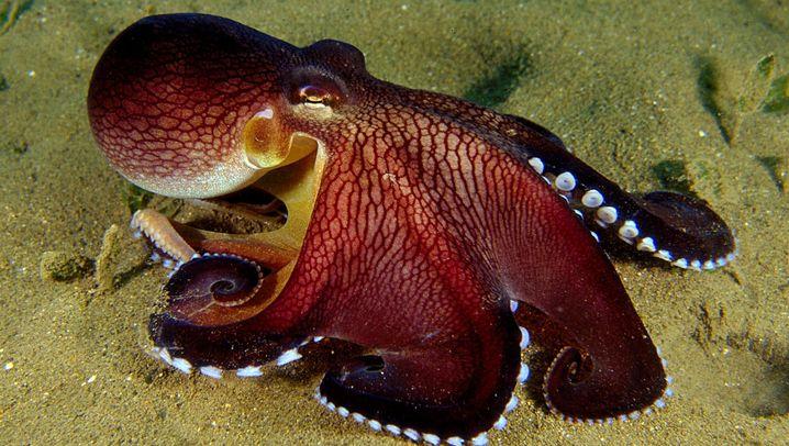 Kokosnuss-Kraken: Häuslebauer mit acht Armen