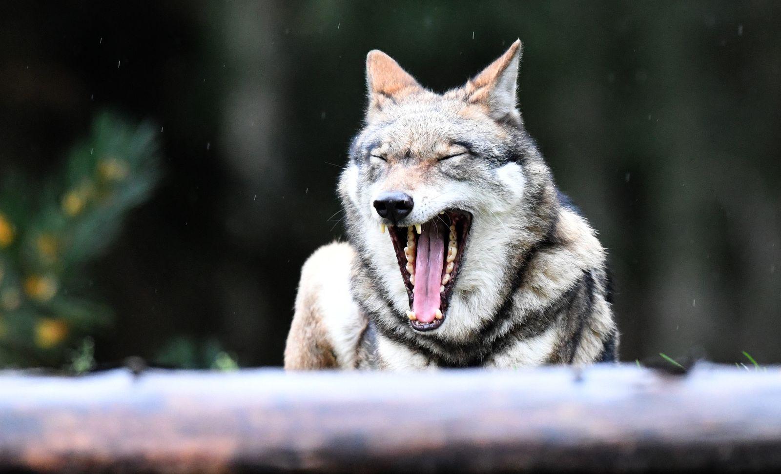 Wolf / Symbol