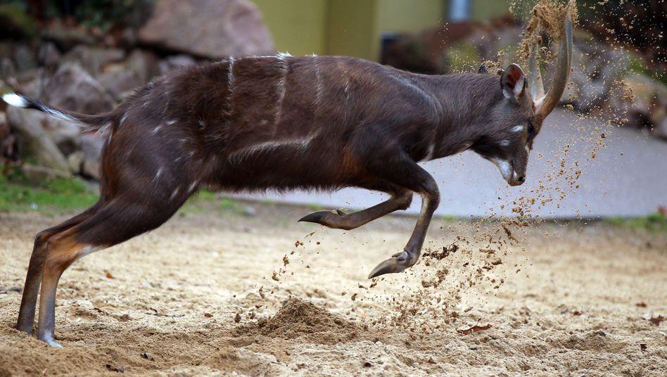 Sitatunga-Antilope im Kölner Zoo (Archiv): Acht Tiere in Südafrika eingeschläfert