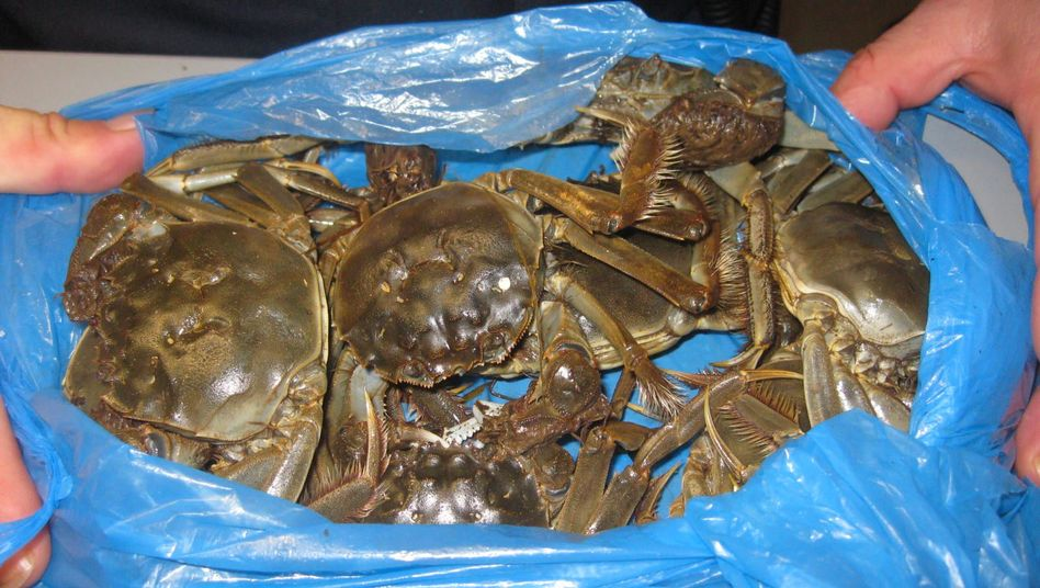 A police handout photo showing the crabs that were rounded up.