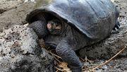 Riesenschildkröte auf Galapagos wiederentdeckt