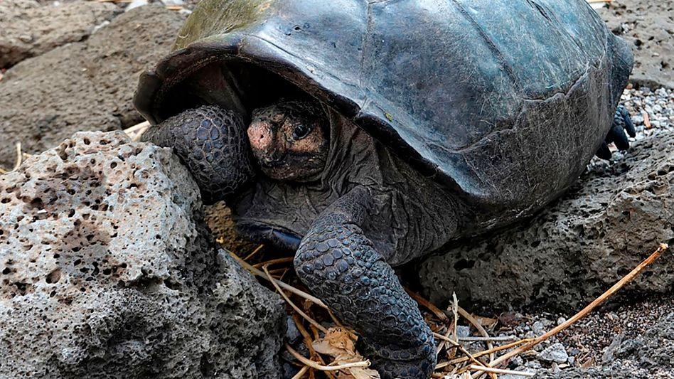 Riesenschildkröte Chelonoidis phantasticus