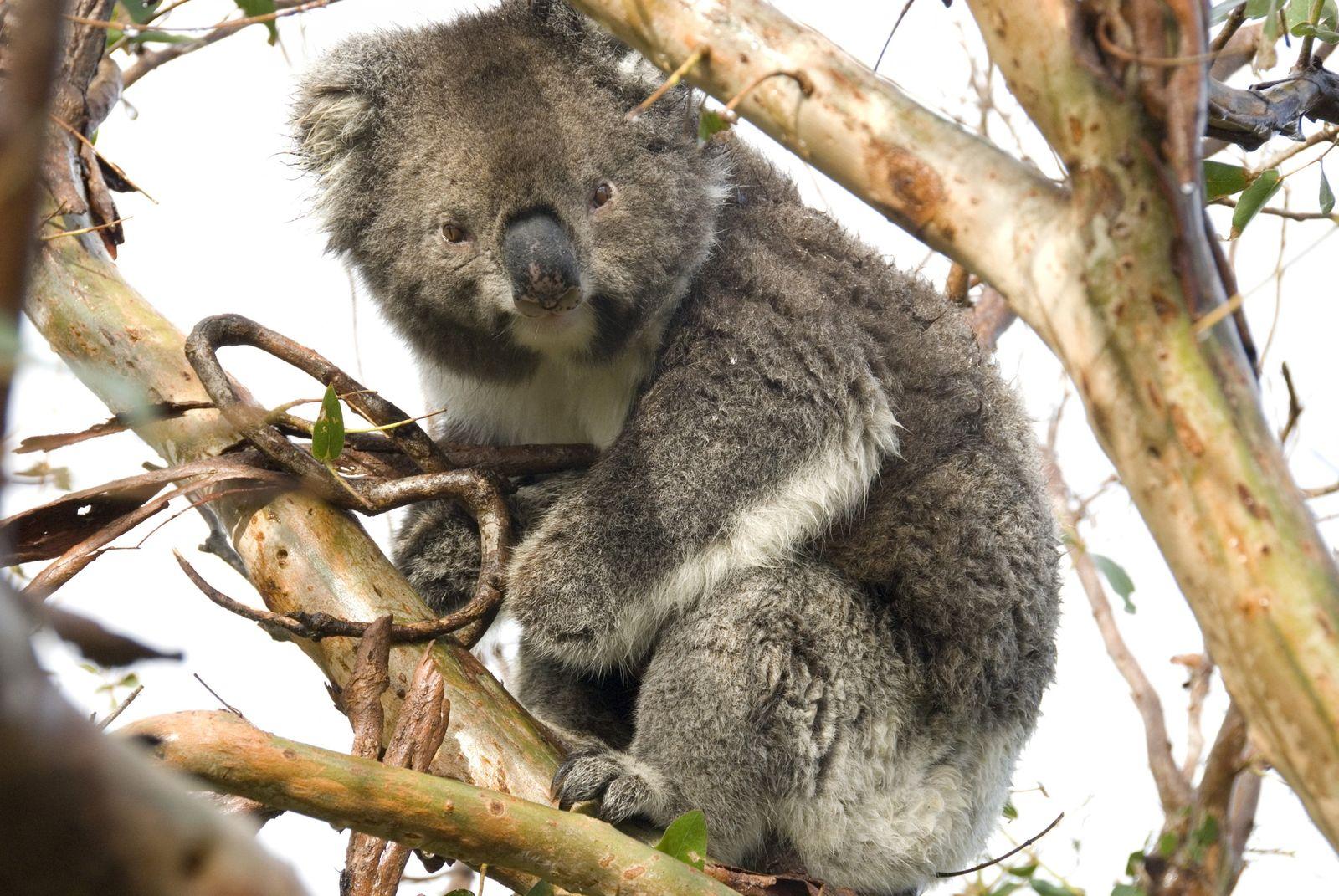 NICHT MEHR VERWENDEN! - Koalabär