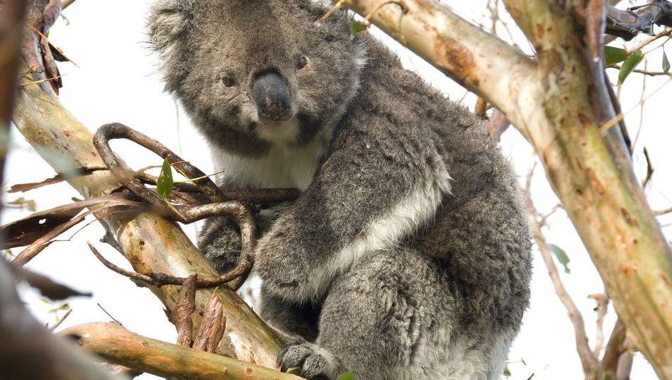 """Koala in Australien: """"Die australische Regierung sollte sich schämen"""""""