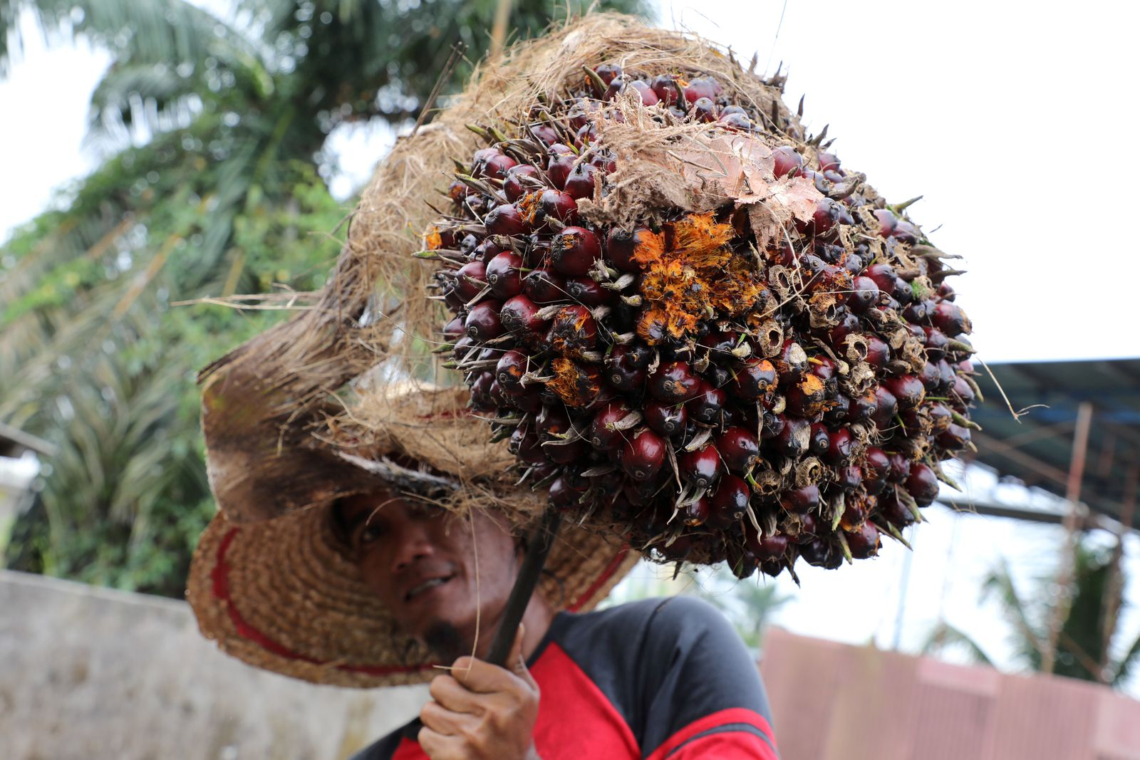 FILE PHOTO: A worker holds a palm oil fruit bunch at a factory in Tanjung Karang