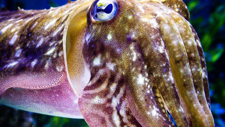 Tintenfisch beim Farbwechsel