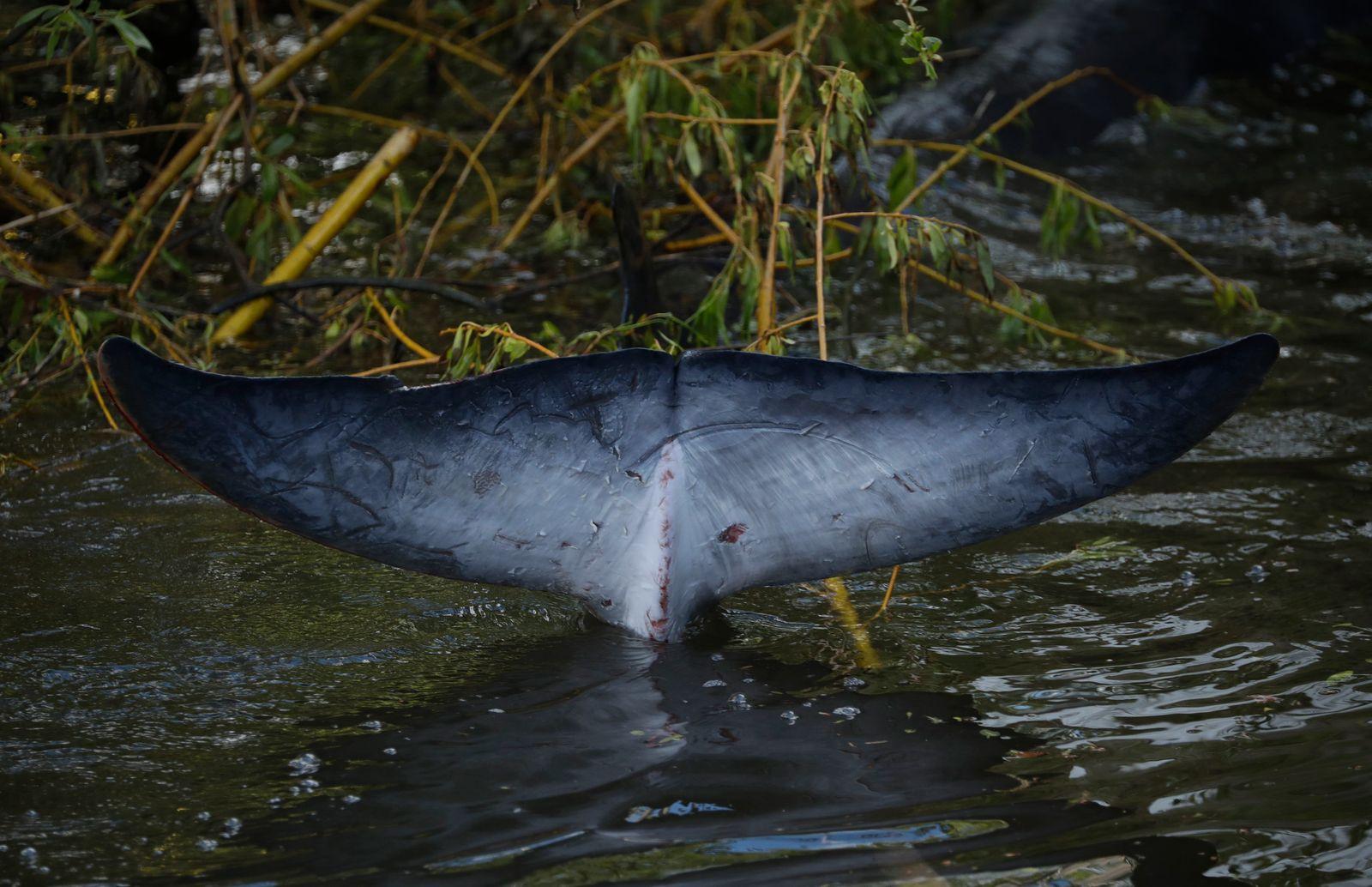 Vier Meter langer Wal aus Themse-Schleuse befreit