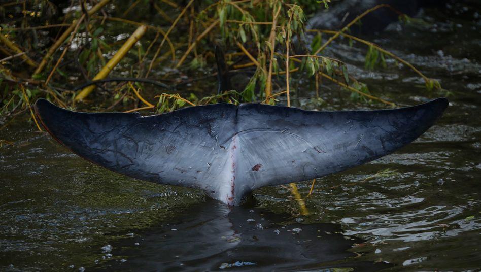 Schwanzflosse des Minkwals in der Themse