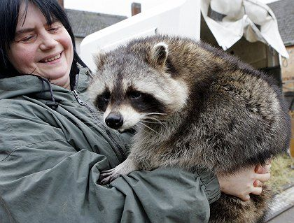 Ursula Stöter with one of her raccoons. She likes them. Most don't.