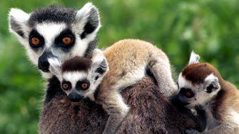 Fast alle Lemuren-Arten vom Aussterben bedroht
