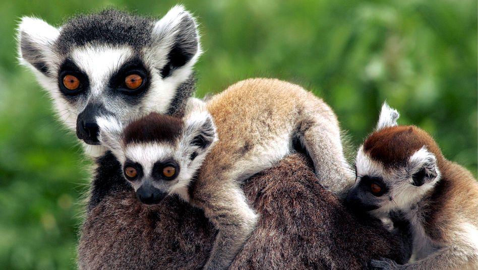 Katta - vom Aussterben bedrohte Lemuren-Art (Archivbild)