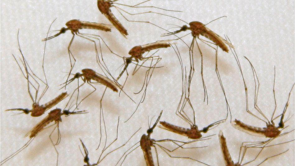Malaria-infizierte Mücken im Labor