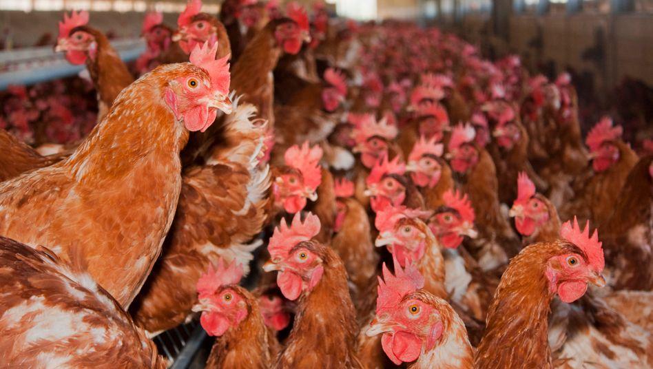Hühner in einer Geflügelfarm