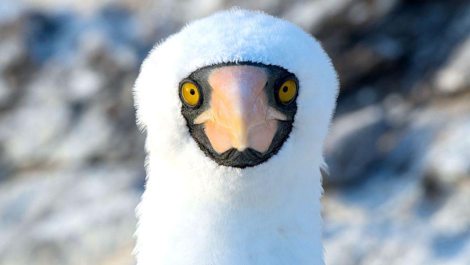 Der Vogel aus der Familie der Tölpel leiht dem Roman seinen Namen