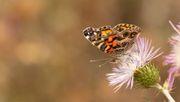 Ein Drittel der Schmetterlinge ist verschwunden