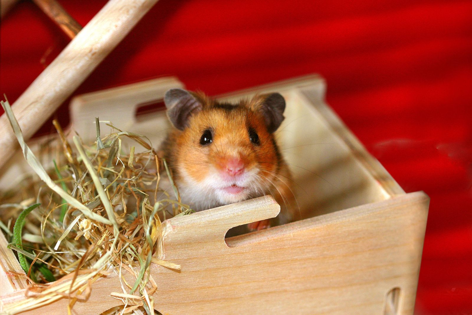 hamster,campbell-zwerghamster *** hamster,campbell dwarf hamster gki-fi9