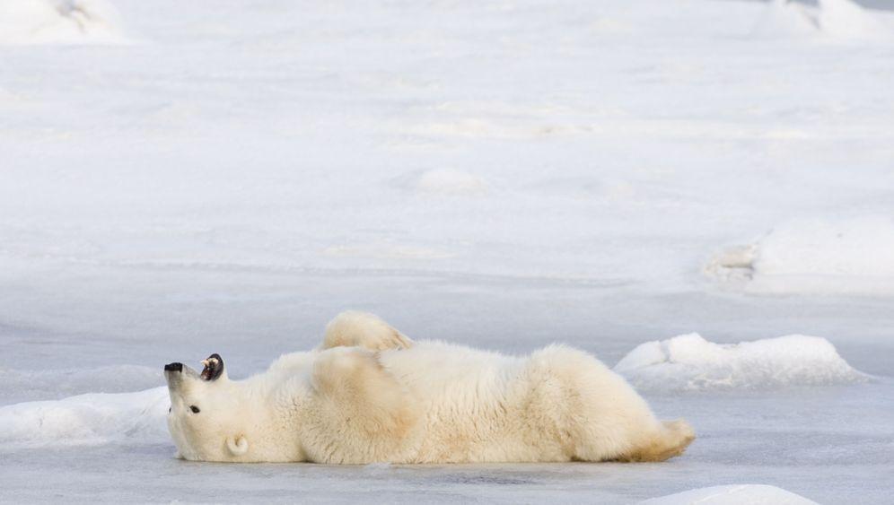 Eisbären: Jäger und Gejagter