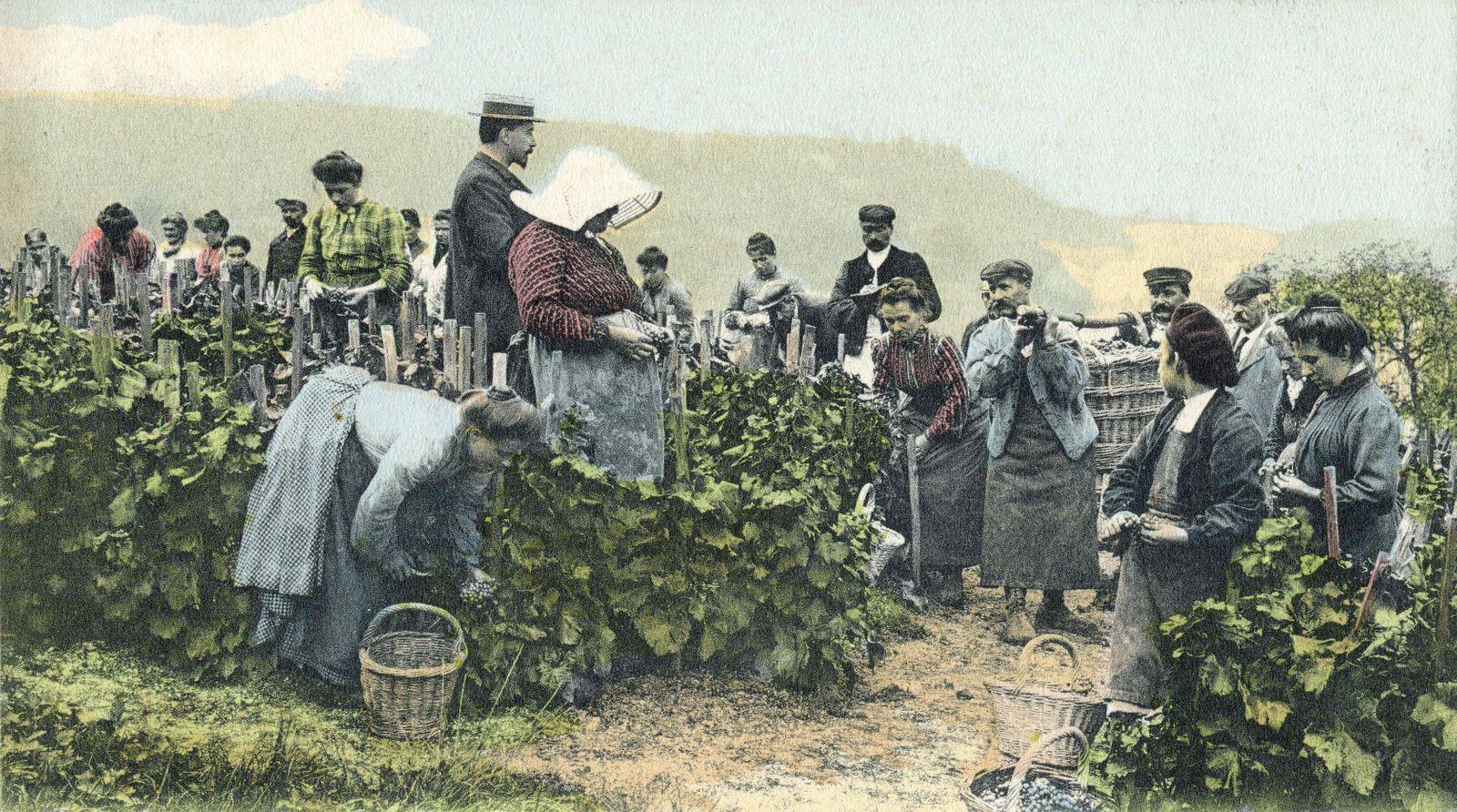 VENDANGES Les vendanges en Champagne : la cueillette . Photographie anonyme pour une carte postale vers 1910. Credit : C