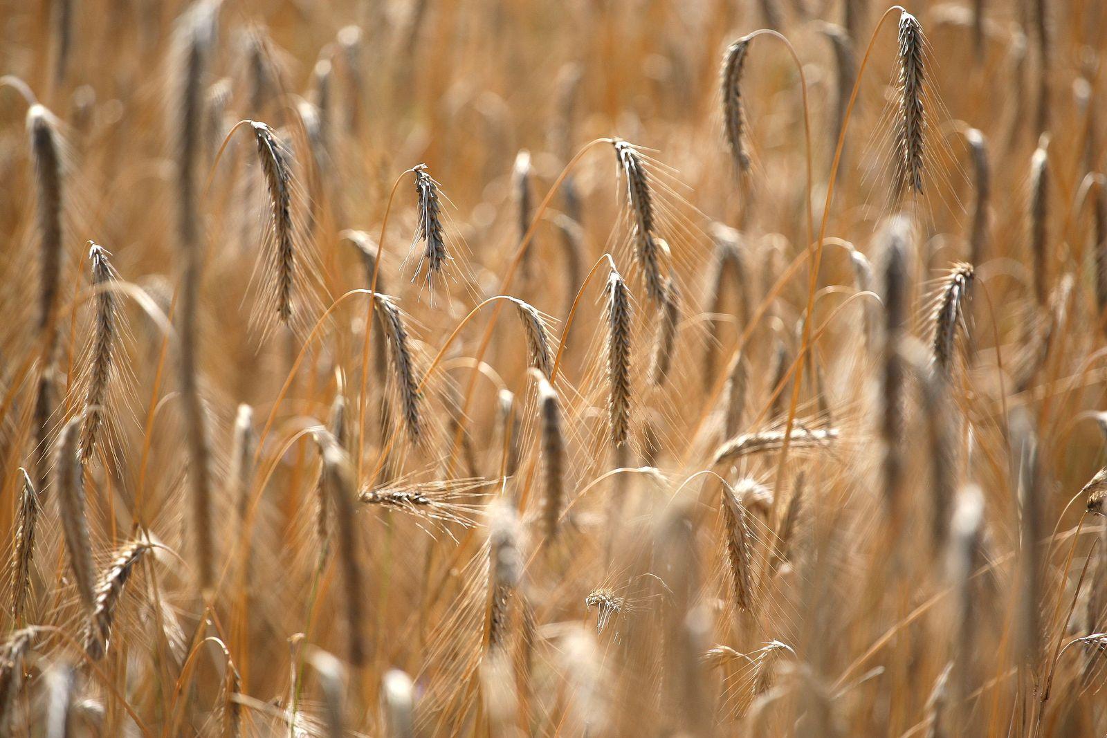 NICHT VERWENDEN Weizenfeld / Weizen / Getreide