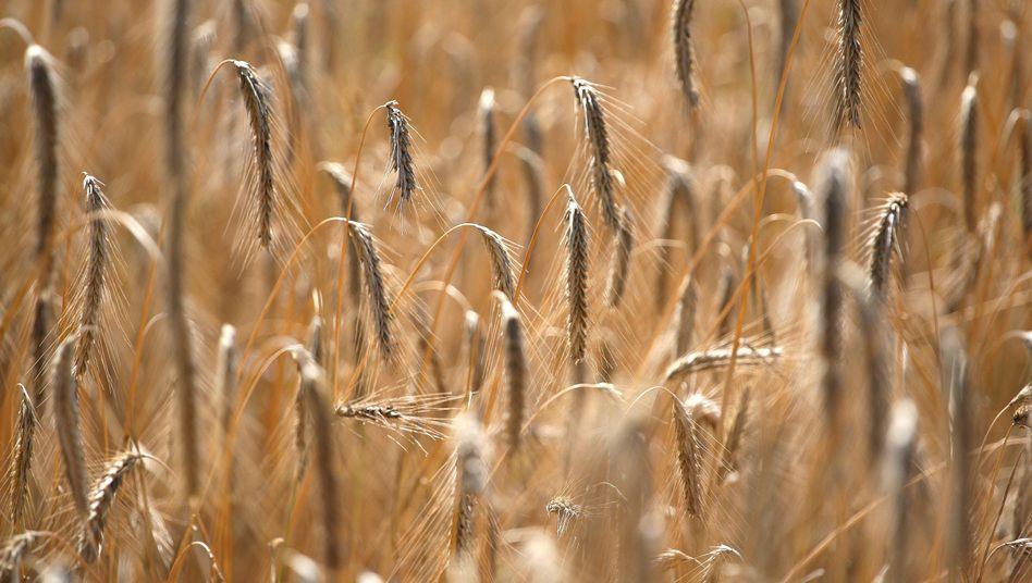 Weizenfeld: Riskante Spekulationen mit Nahrungsmitteln