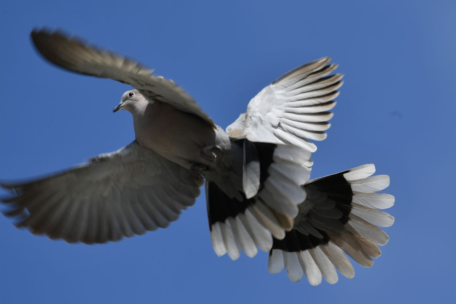 Tauben/ Krankheiten