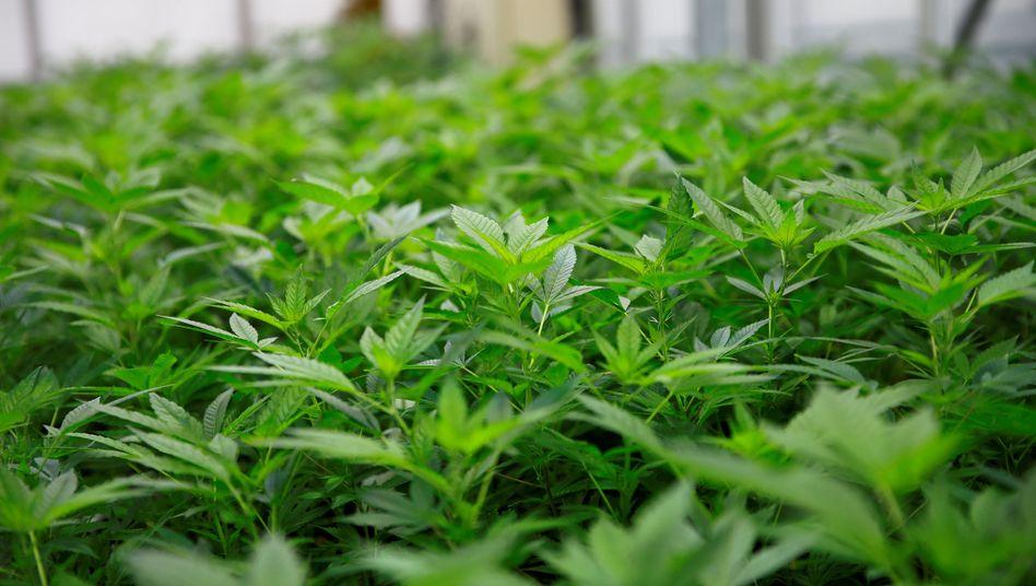 Cannabis-Plantage in Wien (Archivbild)
