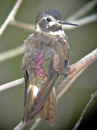 Auch vom Aussterben bedroht: Der Purpurrückenkolibri