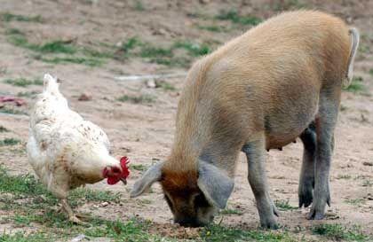 Huhn und Schwein auf chinesischem Bauernhof: Peking dementiert Meldung über Geflügelgrippe bei Schweinen